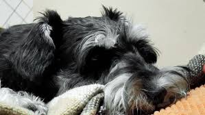 zwerg affenpinscher little puppy schnauzer stock footage video 3253366 shutterstock
