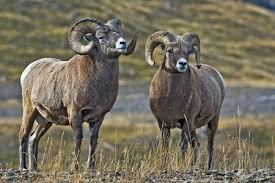 Bighorn Sheep Facts - NatureMapping
