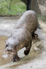 Hairy-nosed otter