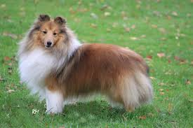 belgian sheepdog breeders in michigan shetland sheepdog breeders within the united states puppies