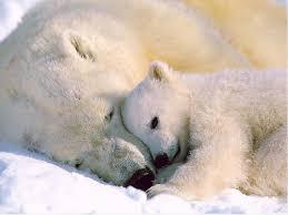 دب القطب الشمالي معلومات وصور فيديو Images?q=tbn:ANd9GcTU_fvLsJ4iPT_eQkKyeIR1ojrRKfVQAMEOHzuh7jnHX8-TgNqQeg