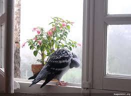 Pigeons Images?q=tbn:ANd9GcTUiJLV5YN7z89Lfr5qdDA_-fptWOLradK2rm0J7H3XwsqvOZAK