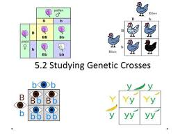 Two Trait Crosses  The Dihybrid Cross Essential Questions  How are     SlidePlayer     Studying Genetic Crosses  Agenda Take up homework Lesson      Studying Genetic Crosses Read