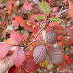 Image result for Rhus aromatica