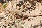 Image result for Acanthodactylus busacki