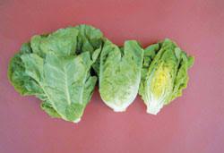 Sałata rzymska jest sałatą długolistną (Lactuca sativa L. var. longifolia Lam.) .