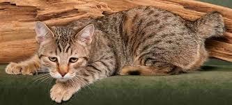 razas de gatos caros