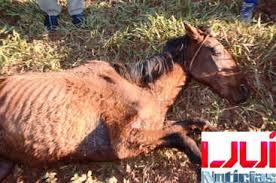 Égua abandonada para morrer em Ijuí ( RS) não resiste e morre