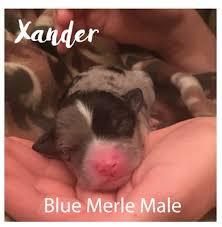 3 australian shepherd mix puppies for adoption litter of 3 miniature australian shepherd puppies for sale in