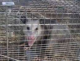 How Do You Get Rid Of Possums In The Backyard by 14 Best Get Rid Of A Varmit Images On Pinterest How To Get Rid