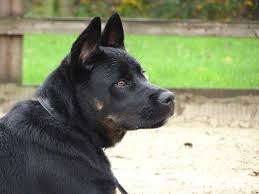 belgian sheepdog chow mix author archives dog and cat