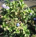 Hydrangea - Perennials - Summer Blooms Flowers - Snowballs ...