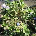 Hydrangea - Perennials - Summer Blooms Flowers - Snowballs ...