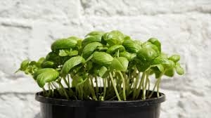 why herb gardening gaining popularity importance of indoor herb