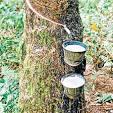 กรีดยางใช้ระบบกรีด 2 รอย : การกรีดยาง เพิ่มน้ำยาง และ