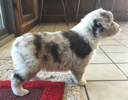 australian shepherd diseases view ad australian shepherd puppy for sale arkansas elkins usa