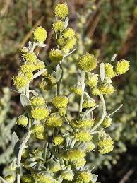 Identikit dell'Artemisia absinthium (assenzio)