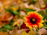 wallpaper autumn flower