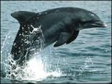 Golfinhos podem ter linguagem própria, diz estudo
