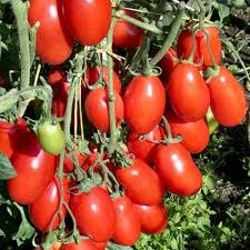 proven winners san marzano heirloom tomato live plant vegetable