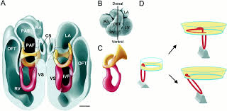 Indeed Ckm Development Of The Myocardium Of The Atrioventricular Canal And