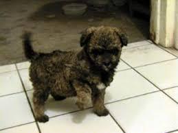affenpinscher brown affenpinscher photos pictures puppies affenpinschers