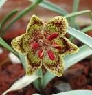 Image result for Fritillaria falcata