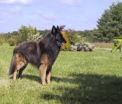 belgian shepherd tervuren belgian shepherd tervuren dogs breeds pets