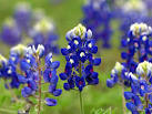 Image result for Lupinus texensis