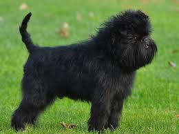 oldest affenpinscher affenpinscher dog fun animals wiki videos pictures stories