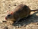 Image result for Rattus rattus