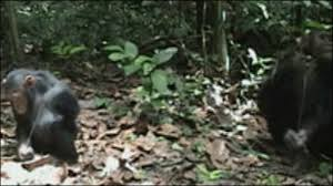 "BBC Brasil - Multimídia - Chimpanzés usam ""vara de pescar"""