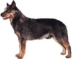 australian shepherd queensland heeler cattledog com internet home of all things australian cattle dog