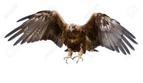 a golden eagle with spread wings isolated stock photo picture
