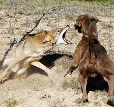 مقابله با گرگ