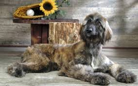 afghan hound long haired dogs afghan hound info temperament mixes training puppies pictures