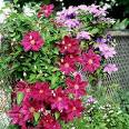 How to Prune Clematis: Organic Gardening