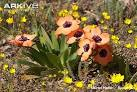 Image result for Romulea multisulcata