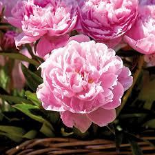 peony flower bulbs garden plants u0026 flowers the home depot