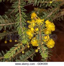 Tree With Bright Yellow Flowers - bright yellow flowering wattle tree acacia geraldton western