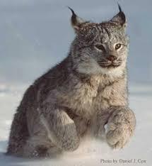 القط البري images?q=tbn:ANd9GcT