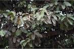 Image result for Vateria indica