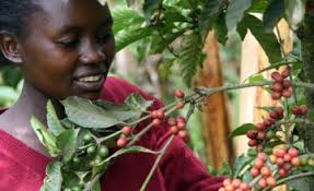 woman picking coffee beans - 00181137-bacb5c60b89aaff26feb286c0cfe3ac9-arc614x376-w360-us1