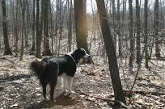 سگ در جنگلکاری