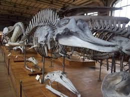 Bottlenose whale