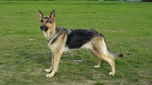 belgian shepherd uk breeders german shepherd wikipedia