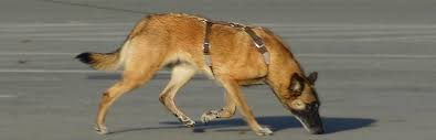 belgian sheepdog national specialty 2018 abmc u2013 american belgian malinois club