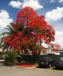 Maple Tree Symbolism by Brachychiton Acerifolius Wikipedia