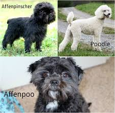 buy a affenpinscher a z cute hybrid dogs you thought they were purebred dogs inside