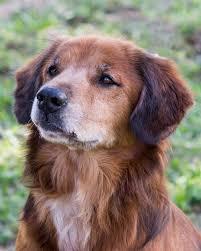 belgian sheepdog chow mix view ad chow chow mix dog for adoption florida miami usa